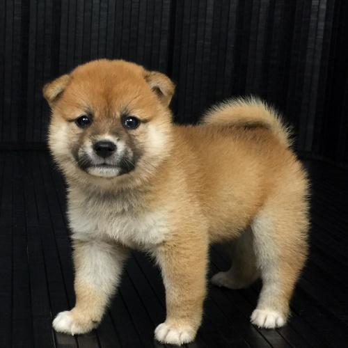 柴犬の子犬(ID:1262511569)の2枚目の写真/更新日:2018-09-08