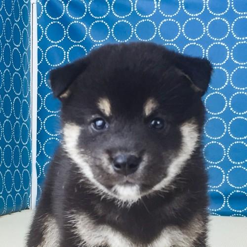 柴犬の子犬(ID:1262511570)の1枚目の写真/更新日:2018-08-25