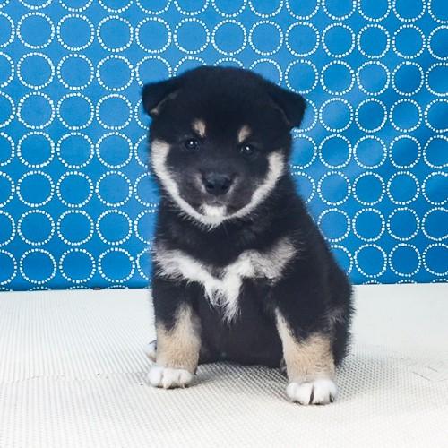 柴犬の子犬(ID:1262511570)の2枚目の写真/更新日:2018-08-25