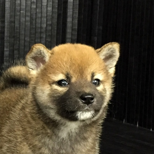 柴犬の子犬(ID:1262511571)の1枚目の写真/更新日:2018-09-02