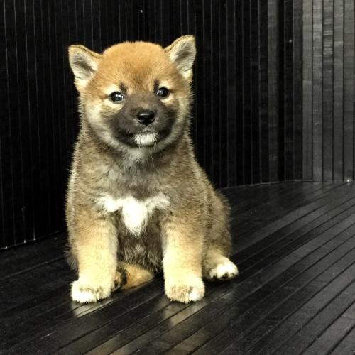 柴犬の子犬(ID:1262511571)の2枚目の写真/更新日:2018-09-02