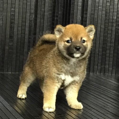 柴犬の子犬(ID:1262511571)の3枚目の写真/更新日:2018-09-02