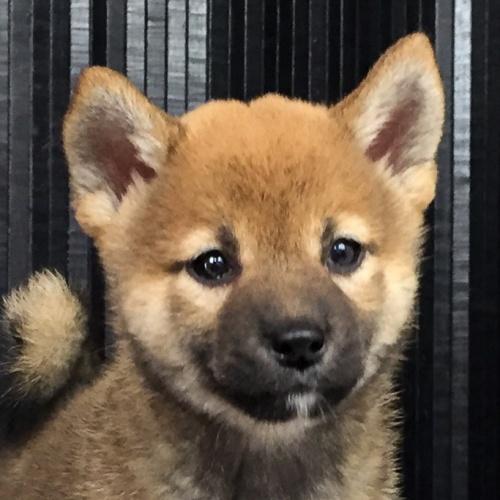 柴犬の子犬(ID:1262511572)の1枚目の写真/更新日:2018-09-13