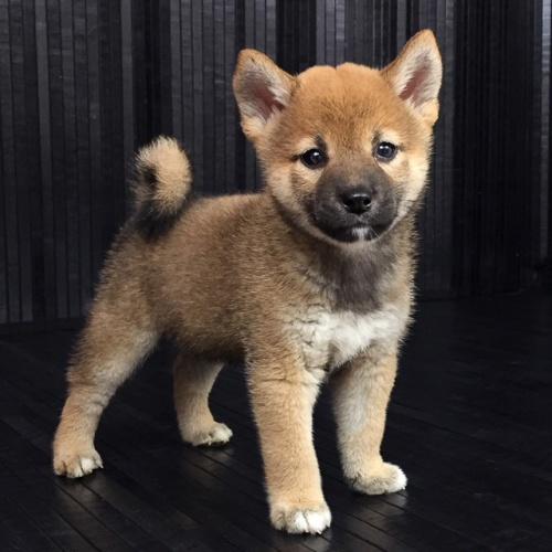 柴犬の子犬(ID:1262511572)の2枚目の写真/更新日:2018-09-13