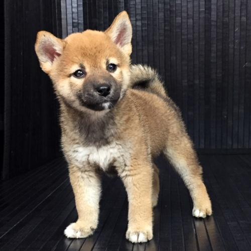 柴犬の子犬(ID:1262511572)の3枚目の写真/更新日:2018-09-13