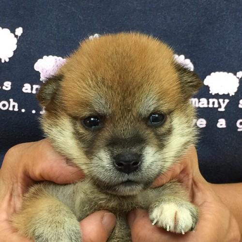 柴犬の子犬(ID:1262511573)の1枚目の写真/更新日:2018-09-05