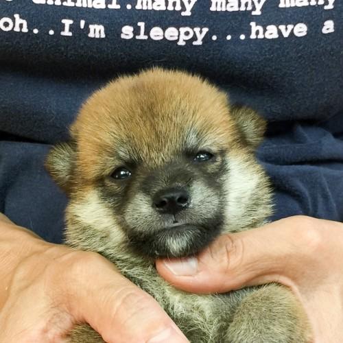 柴犬の子犬(ID:1262511574)の1枚目の写真/更新日:2018-09-05