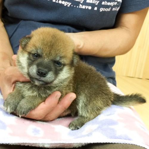 柴犬の子犬(ID:1262511574)の3枚目の写真/更新日:2018-09-05