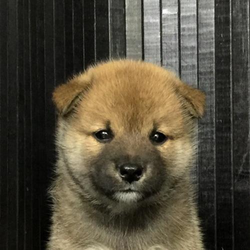 柴犬の子犬(ID:1262511575)の1枚目の写真/更新日:2018-09-07