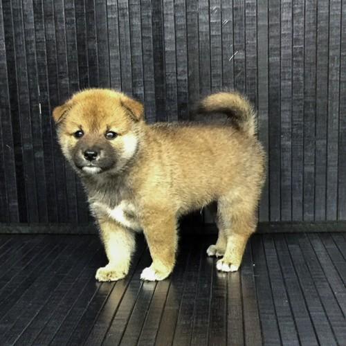 柴犬の子犬(ID:1262511575)の3枚目の写真/更新日:2018-09-07