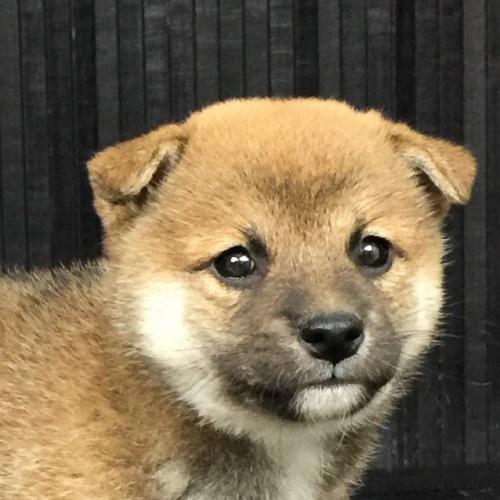 柴犬の子犬(ID:1262511576)の1枚目の写真/更新日:2018-09-10