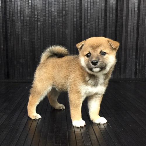 柴犬の子犬(ID:1262511576)の2枚目の写真/更新日:2018-09-10