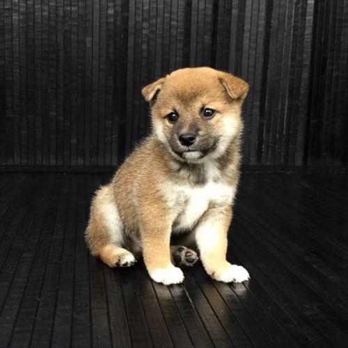 柴犬の子犬(ID:1262511576)の3枚目の写真/更新日:2018-09-10