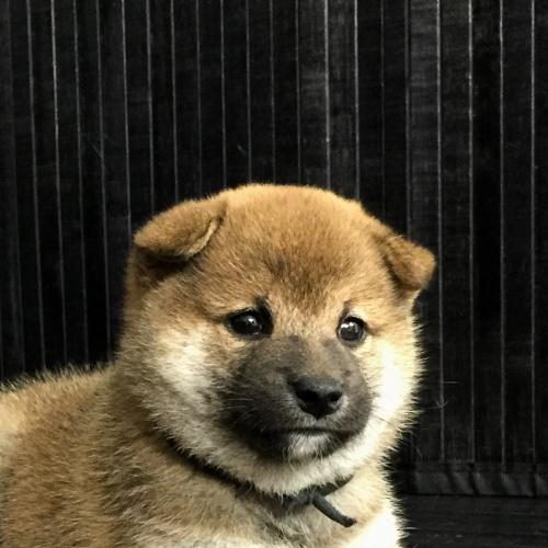 柴犬の子犬(ID:1262511577)の1枚目の写真/更新日:2018-09-10