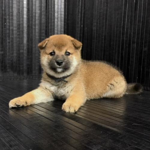柴犬の子犬(ID:1262511577)の3枚目の写真/更新日:2018-09-10