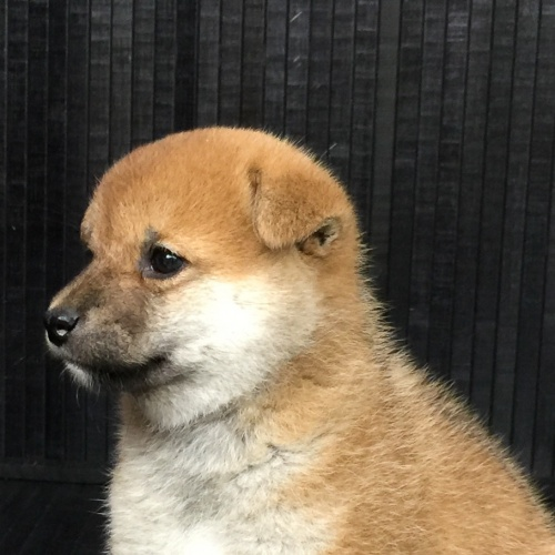 柴犬の子犬(ID:1262511578)の1枚目の写真/更新日:2018-09-10