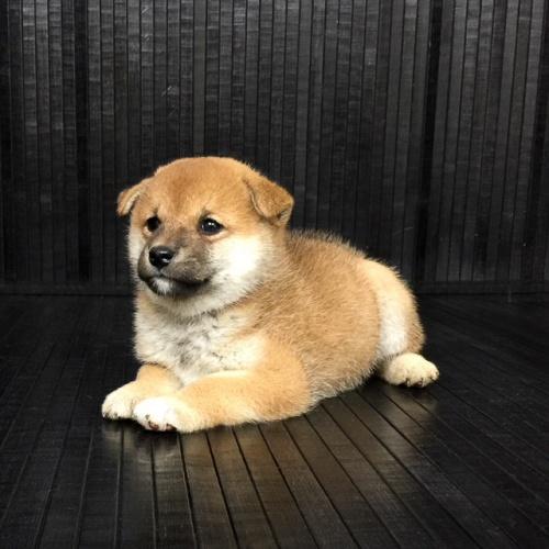 柴犬の子犬(ID:1262511578)の2枚目の写真/更新日:2018-09-10