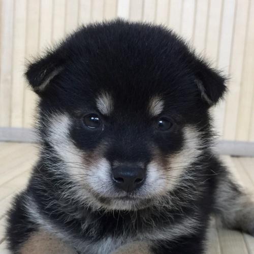 柴犬の子犬(ID:1262511579)の1枚目の写真/更新日:2018-09-11