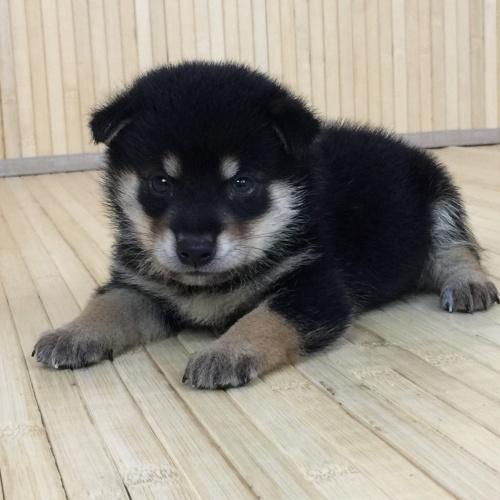 柴犬の子犬(ID:1262511579)の2枚目の写真/更新日:2018-09-11