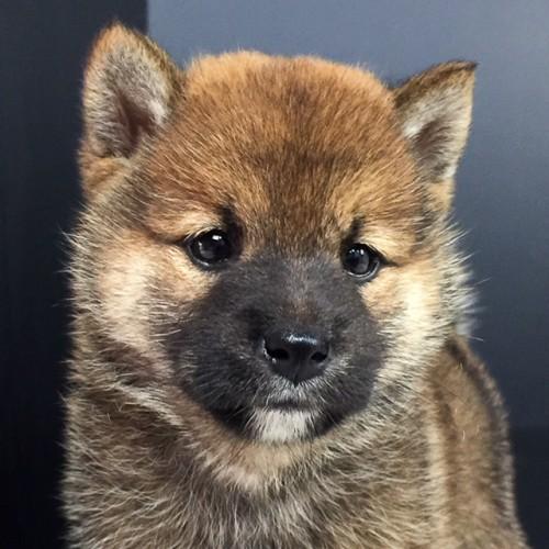 柴犬の子犬(ID:1262511581)の1枚目の写真/更新日:2018-09-14