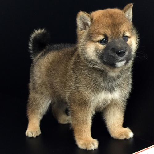 柴犬の子犬(ID:1262511581)の2枚目の写真/更新日:2018-09-14