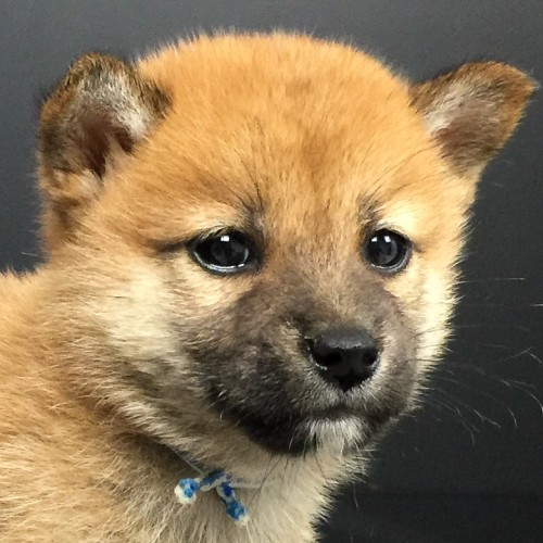 柴犬の子犬(ID:1262511585)の1枚目の写真/更新日:2018-09-20