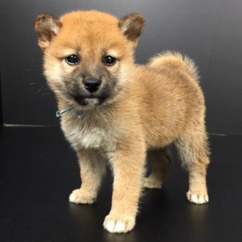 柴犬の子犬(ID:1262511585)の2枚目の写真/更新日:2018-09-20