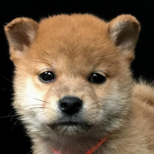 柴犬の子犬(ID:1262511586)の1枚目の写真/更新日:2018-09-20