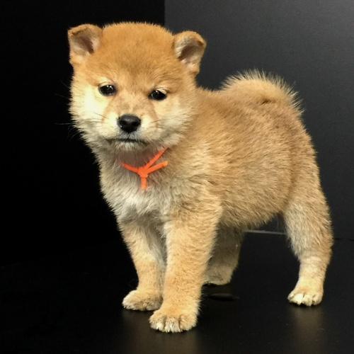 柴犬の子犬(ID:1262511586)の2枚目の写真/更新日:2018-09-20