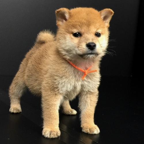 柴犬の子犬(ID:1262511586)の3枚目の写真/更新日:2018-09-20