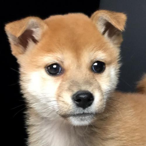 柴犬の子犬(ID:1262511587)の1枚目の写真/更新日:2018-09-20