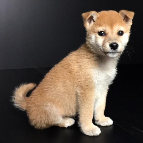 柴犬の子犬(ID:1262511587)の2枚目の写真/更新日:2018-09-20