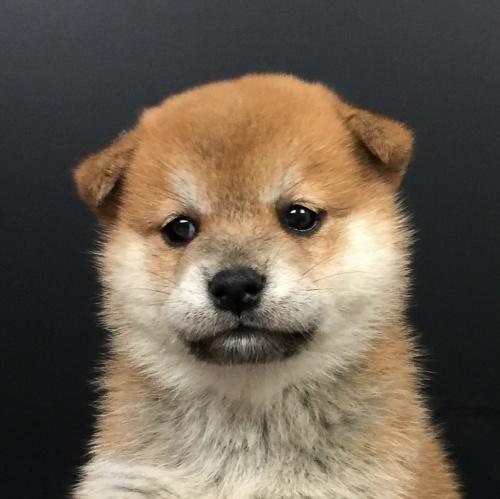 柴犬の子犬(ID:1262511595)の1枚目の写真/更新日:2018-10-11