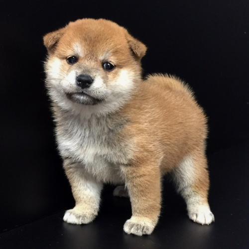 柴犬の子犬(ID:1262511595)の2枚目の写真/更新日:2018-10-11