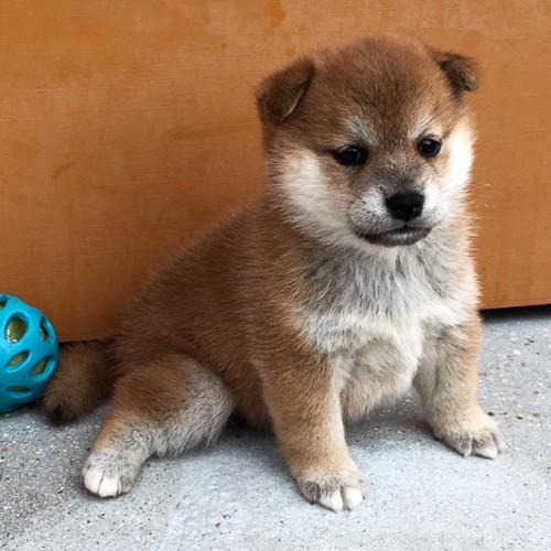 柴犬の子犬(ID:1262511595)の3枚目の写真/更新日:2018-10-11