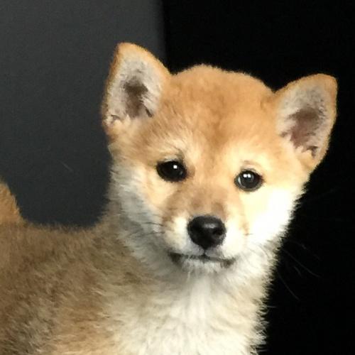 柴犬の子犬(ID:1262511597)の1枚目の写真/更新日:2018-10-12