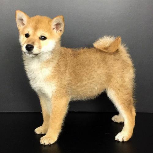 柴犬の子犬(ID:1262511597)の2枚目の写真/更新日:2018-10-12