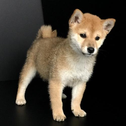 柴犬の子犬(ID:1262511597)の3枚目の写真/更新日:2018-10-12