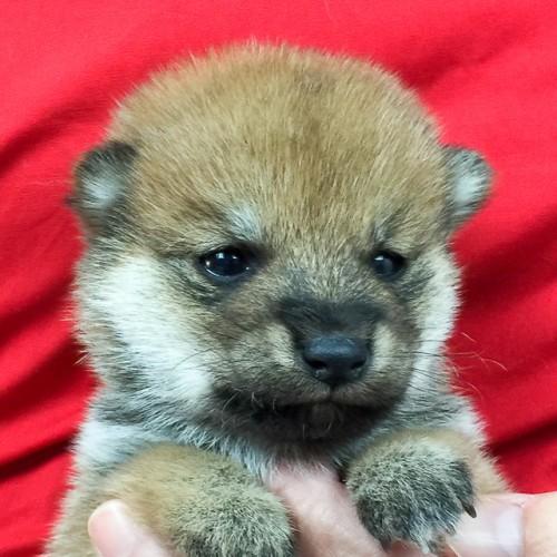 柴犬の子犬(ID:1262511598)の1枚目の写真/更新日:2018-10-14