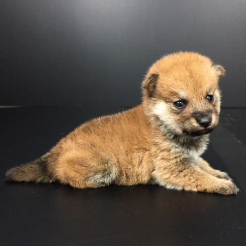 柴犬の子犬(ID:1262511598)の2枚目の写真/更新日:2018-10-14