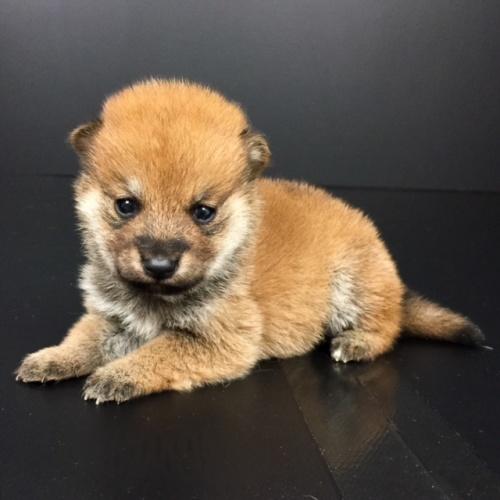 柴犬の子犬(ID:1262511598)の3枚目の写真/更新日:2018-10-14