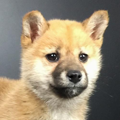 柴犬の子犬(ID:1262511602)の1枚目の写真/更新日:2018-10-15