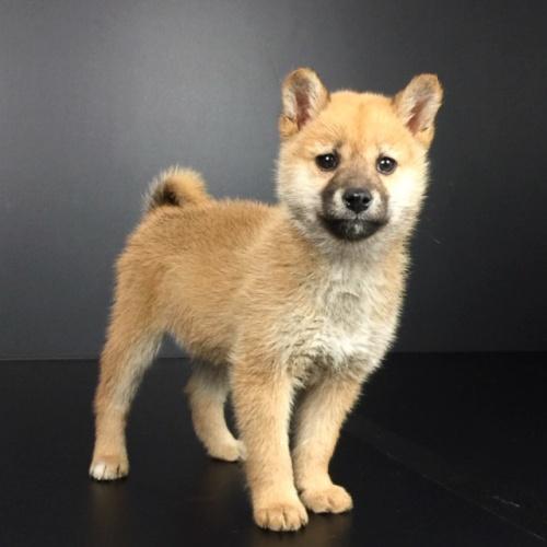 柴犬の子犬(ID:1262511602)の2枚目の写真/更新日:2018-10-15