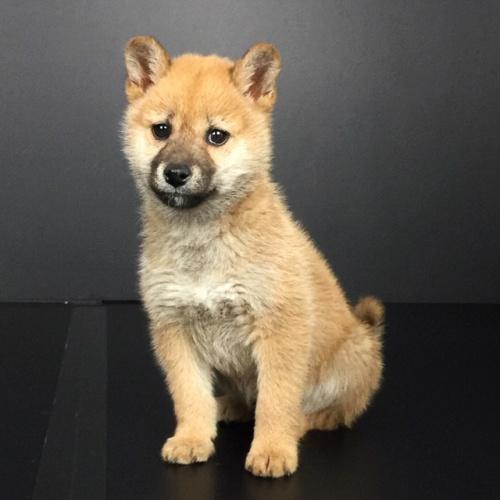 柴犬の子犬(ID:1262511602)の3枚目の写真/更新日:2018-10-15