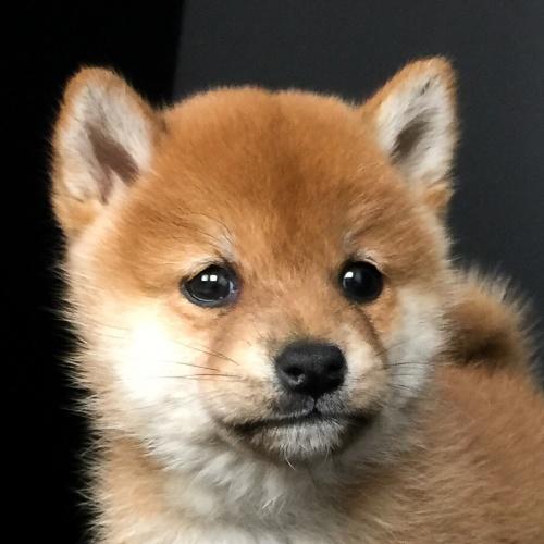 柴犬の子犬(ID:1262511605)の1枚目の写真/更新日:2018-11-27