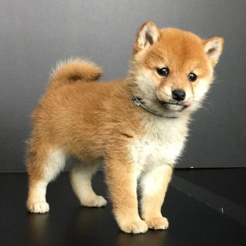 柴犬の子犬(ID:1262511605)の2枚目の写真/更新日:2018-11-27