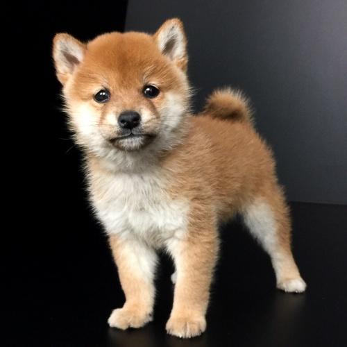 柴犬の子犬(ID:1262511605)の3枚目の写真/更新日:2018-11-27