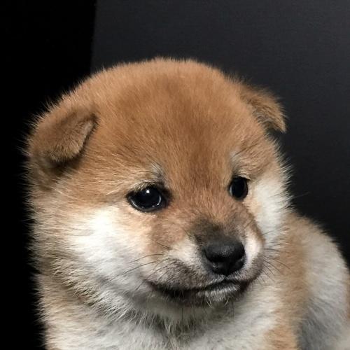 柴犬の子犬(ID:1262511606)の1枚目の写真/更新日:2018-11-17