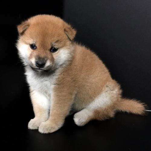 柴犬の子犬(ID:1262511606)の2枚目の写真/更新日:2018-11-17