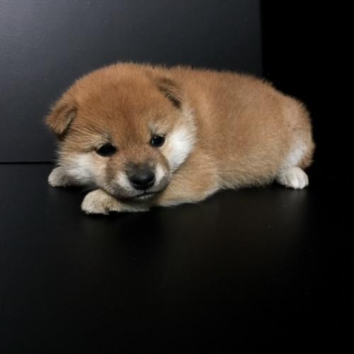 柴犬の子犬(ID:1262511606)の3枚目の写真/更新日:2018-11-17